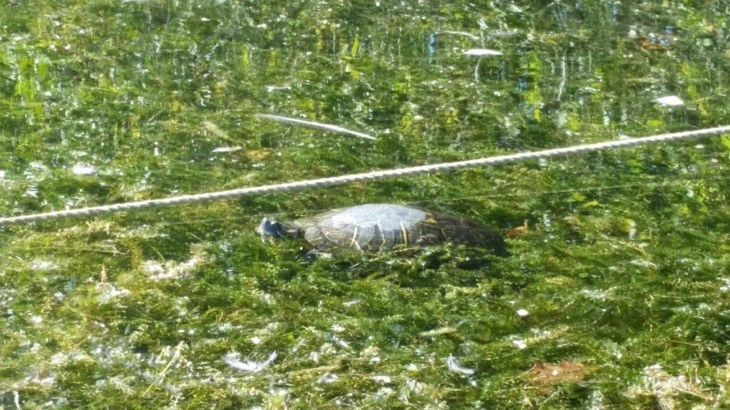 Turtle in watermilfoil by Ann Swain