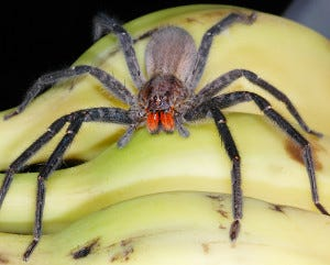 Red-faced banana spider, National Geographic